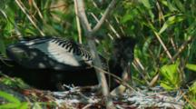 Baby Birds, Anhinga, Feeding, Agressive, Half-Grown Baby Bird