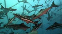Med Shot Pov Inside An Aquapod Fish Farm.  Divers Enter Aquapod.