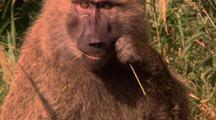 Baboon Walking, Feeding