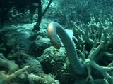Olive Sea Snake In Reef