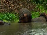 Hippo Moving Around On Water Edge