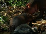 Hippo Mother And Baby Outside Of Water