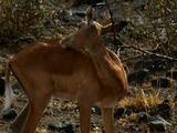 Impala Licking Itself