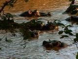 Hippos Resting