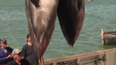 Tuna Fishing Stock Footage