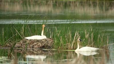 Trumpeter Swan Cygnus buccinator,on nest incubating eggs