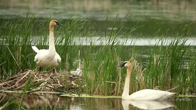 Trumpeter Swan Cygnus buccinator,with cygnet at nest