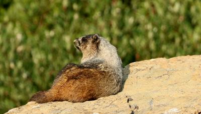 Hoary Marmot,Marmota caligata on rock with head turn