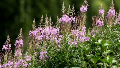 Fireweed blowing in the wind,wildflowers,mountains