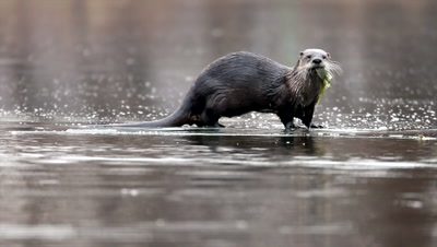 River Otter,Lontra canadensis,eating fish on ice