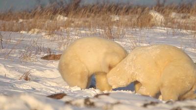 Polar Bear,Ursus maritimus,fight between adults,bear fight