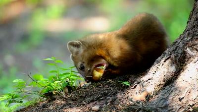 Pine Marten,Martes americana,eating at base of tree
