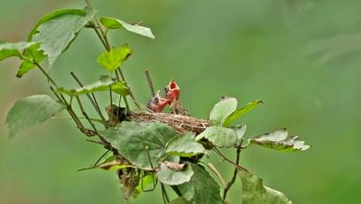 Indigo Bunting female feeding babies at nest