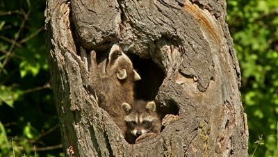 Raccoon (Procyon lotor) babies playing on log