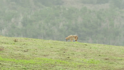 Coyote (Canis latrans) hunting gophers