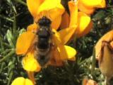 Bees, Mating, European Gorse