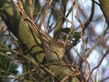 Willow Warbler Resting In Tree, Early Migrant Arrival