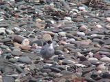 Arctic Tern Preening On Shingle