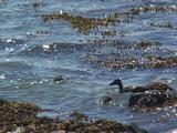 Eider Duck, Females And Diving Chicks