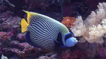 Emperor Angel Fish Clean