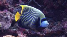 Emperor Angel Fish Cleaning