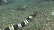 Napoleon Snake Eel Travels Over Sand