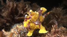 Yellow Clown Frog Fish Hunting And Swimming/Walking At Night