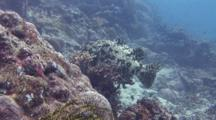 Brown Marbled Grouper Resting On Soft Coral, Swims Away