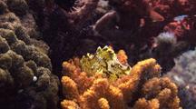 Yellow Leaf Scorpion Fish