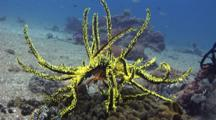 Yellow Crinoid Moving Arms