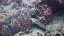 Hawksbill Turtle Feeding On Corals