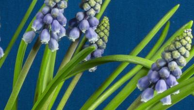Grape hyacinth growing