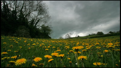 Grassy meadow with many flowering dandelions in foreground as threatening rain clouds sweep overhead