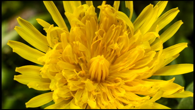 Close up of Dandelion flower, Taraxacum offiniale, opening. Looking down onto flower head. Spring