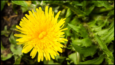 Dandelion, Taraxacum officinale, flower opening with rotation anti-clockwise.