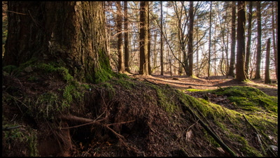 Jib move upwards from base of conifer tree, up trunk and revealing forest beyond. Dappled sunlight on tree trunk and forest floor.