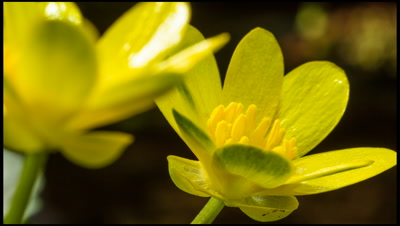 Lesser Celandine, Ranunculus ficaria, flowers opening in early spring in response to sunlight.