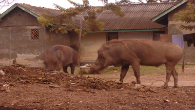 Mid shot warthogs rummaging through rubbish in front of village houses, Uganda