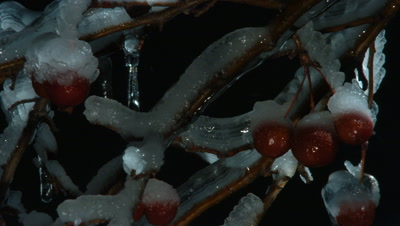 Medium close up of ice forming on twigs and small red berries