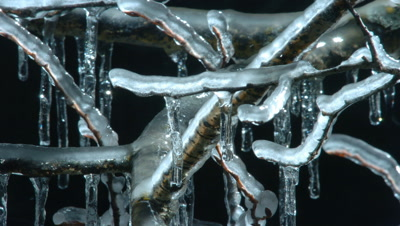 Close up of ice freezes onto birch twigs to form icicles against black background