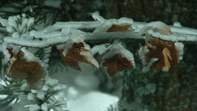 Close up of ice forms on brown deciduous tree branches in foreground and pine needles in background