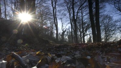Medium wide angle low sun travels along the edge of deciduous woodland glimpsing through trees, with leaf litter in foreground UK