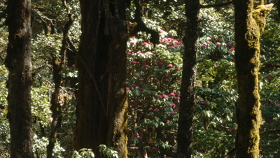 Medium wide angle Rhododendron forest with shadows moving through and pink flowers, Kedernath, India