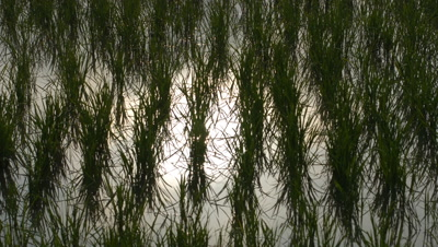 Close up rice plants with sun and clouds reflected in water they are growing in