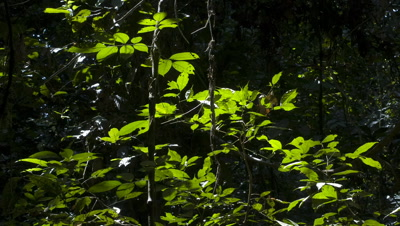 Mid shot shadows moving over backlit rainforest vegetation featuring growing vines in foreground