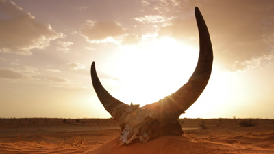 Low wide angle cow skull with horns sitting in red orange sand desert as sun sets behind