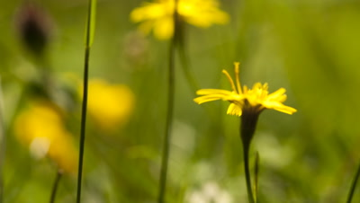Close up Smooth Hawk's-beard, Crepis capillaris, in field of waving wildflowers, opens and closes throughout day