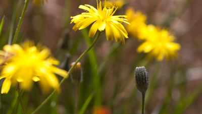 Close up Smooth Hawk's-beard, Crepis capillaris, flowers as open and close in field of wildflowers