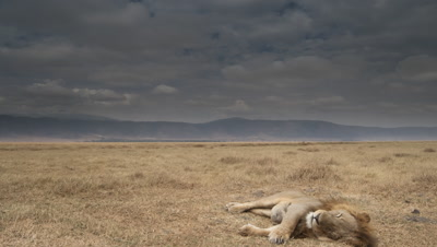 Wide angle scudding cloud moves over dry grassland of Ngorongoro crater with male lion in foreground sleeping