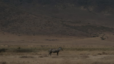 Wide angle pan with herds of wildebeest and zebra as they graze along the base of the walls of the Ngorongoro Crater floor